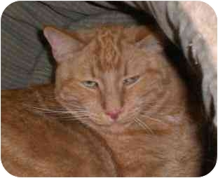 Domestic Shorthair Cat for adoption in Lombard, Illinois - Fitz