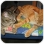 Photo 4 - Domestic Shorthair Kitten for adoption in San Diego, California - Keely