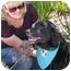 Photo 2 - Flat-Coated Retriever Mix Dog for adoption in San Diego, California - Shana