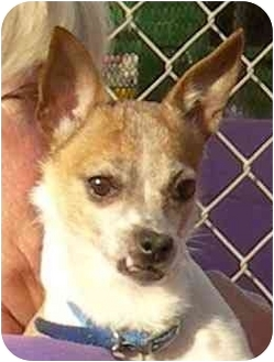 Chihuahua Dog for adoption in El Segundo, California - Doc