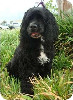 Cocker Spaniel Dog for adoption in Sugarland, Texas - Bella Lou