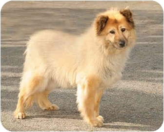 Golden Retriever/Chow Chow Mix Dog for adoption in Marina del Rey, California - Luna