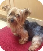 Yorkie, Yorkshire Terrier Dog for adoption in Cocoa, Florida - Bella Amicha