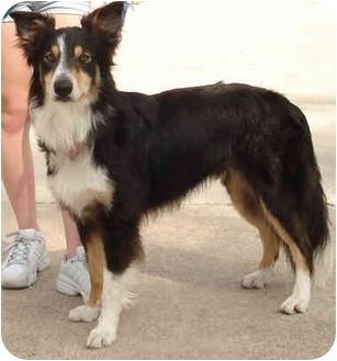 Border Collie Dog for adoption in Kingwood, Texas - Luke