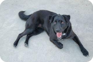 Flat-Coated Retriever Mix Dog for adoption in Hazlehurst, Georgia - Esther