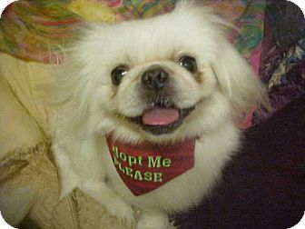 Pekingese Dog for adoption in Cathedral City, California - Clint