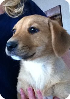 Labrador Retriever Mix Puppy for adoption in Nuevo, California - Blossom