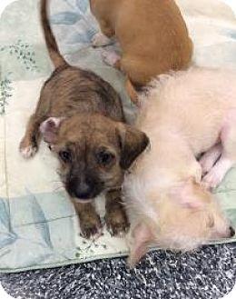 Chihuahua Mix Puppy for adoption in Tucson, Arizona - Mocha