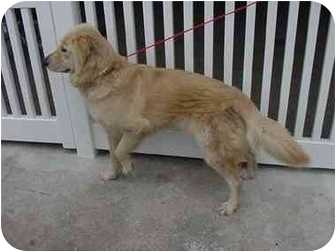 Golden Retriever Mix Dog for adoption in Bourg, Louisiana - Samantha