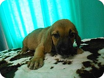 Shepherd (Unknown Type)/Hound (Unknown Type) Mix Puppy for adoption in East Hartford, Connecticut - piper in CT
