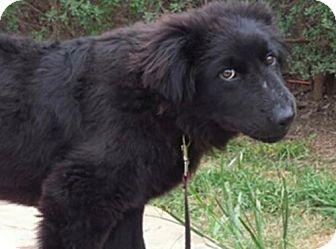 Labrador Retriever/Newfoundland Mix Dog for adoption in Olympia, Washington - Jacob