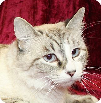 Siamese Cat for adoption in Jackson, Michigan - Kia