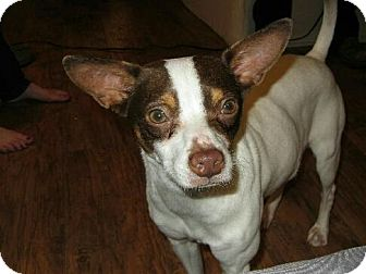 Jack Russell Terrier/Chihuahua Mix Dog for adoption in Mt. Clemens, Michigan - Nicholas