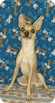 Chihuahua Mix Dog for adoption in Rapid City, South Dakota - Lil' Dude