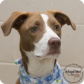 Border Collie/Labrador Retriever Mix Dog for adoption in Troy, Ohio - Destiny