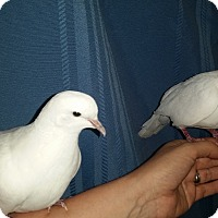 Adopt A Pet :: Archie & Edith - St. Louis, MO