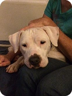 American Staffordshire Terrier/American Pit Bull Terrier Mix Dog for adoption in San Diego, California - Ambrosia