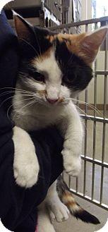 Domestic Shorthair Cat for adoption in Cheboygan, Michigan - 20744
