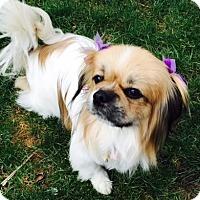 Adopt A Pet :: Abbey - Beavercreek, OH