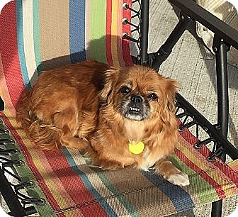 Pekingese Dog for adoption in Palmyra, New Jersey - NYLA