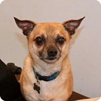 Terrier (Unknown Type, Medium)/Chihuahua Mix Dog for adoption in Willows, California - DEXTER