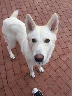 Siberian Husky/Shepherd (Unknown Type) Mix Dog for adoption in Scottsdale, Arizona - Joy