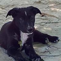 Adopt A Pet :: Gizmo - Colmar, PA