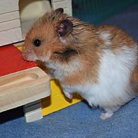Adopt A Pet :: Westley - Pine Bush, NY