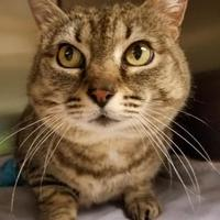 Adopt A Pet :: Miss Kitty - Corvallis, OR