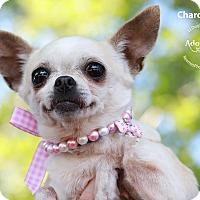 Adopt A Pet :: Chardonnay - Shawnee Mission, KS