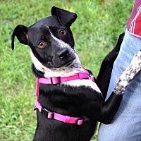 Adopt A Pet :: Stella - Apex, NC