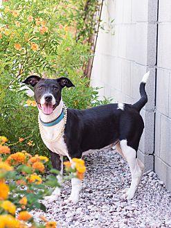 Border Collie/Labrador Retriever Mix Puppy for adoption in Chandler, Arizona - Licorice