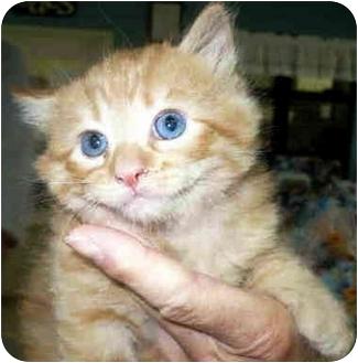 Domestic Shorthair Kitten for adoption in San Clemente, California - ABBOTT