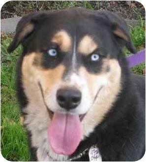 Husky/German Shepherd Dog Mix Dog for adoption in Sherman Oaks, California - Elle'Belle