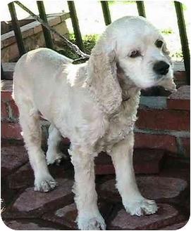 Cocker Spaniel Mix Dog for adoption in Poway, California - STELLA