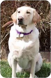 Labrador Retriever Dog for adoption in Torrance, California - Cupcake