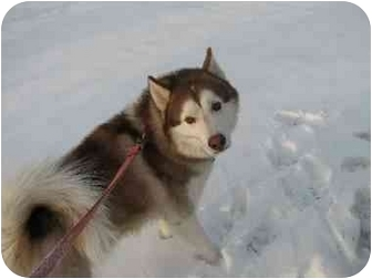 Siberian Husky Dog for adoption in Horsham, Pennsylvania - JAKEY