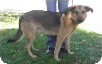 German Shepherd Dog/Labrador Retriever Mix Dog for adoption in Honesdale, Pennsylvania - Ike