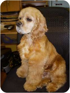 Cocker Spaniel Dog for adoption in Tacoma, Washington - Josh