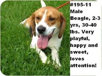 Beagle Dog for adoption in Zanesville, Ohio - # 195-11 - @ANIMAL SHELTER