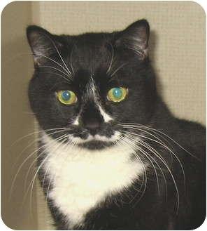 Domestic Shorthair Cat for adoption in Hamilton, New Jersey - PRISCILLA