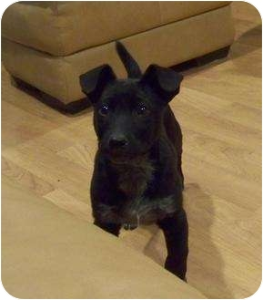 Australian Cattle Dog Mix Puppy for adoption in White Settlement, Texas - Coal
