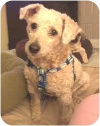 Poodle (Miniature) Dog for adoption in Melbourne, Florida - DRE
