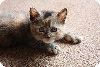 Domestic Shorthair Kitten for adoption in Edmond, Oklahoma - Pippa