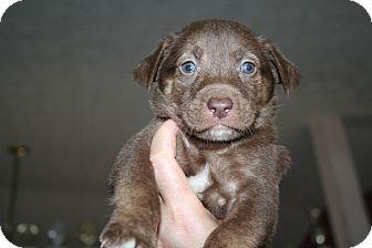 Carolina Dog/Labrador Retriever Mix Puppy for adoption in Westfield, Indiana - Henry