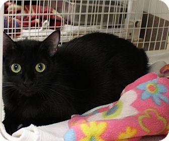 Domestic Shorthair Cat for adoption in Chambersburg, Pennsylvania - Courtney