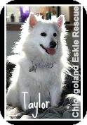 American Eskimo Dog Dog for adoption in Elmhurst, Illinois - Taylor