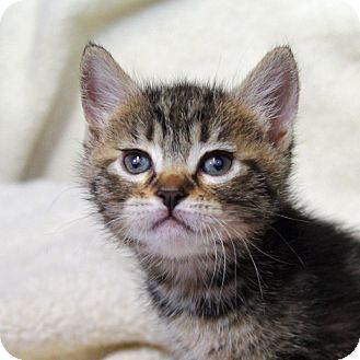 Domestic Shorthair Kitten for adoption in Tillamook, Oregon - Sybil