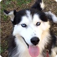 Adopt A Pet :: Dakota - Horsham, PA
