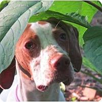 Adopt A Pet :: Arya - Windham, NH